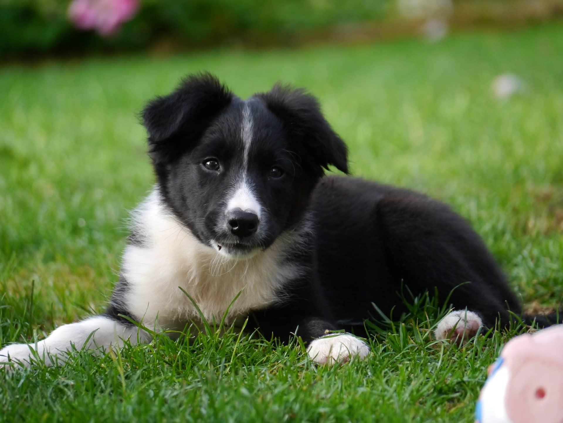 Border Collie Training Border Collie Puppy Training Tips Royvon