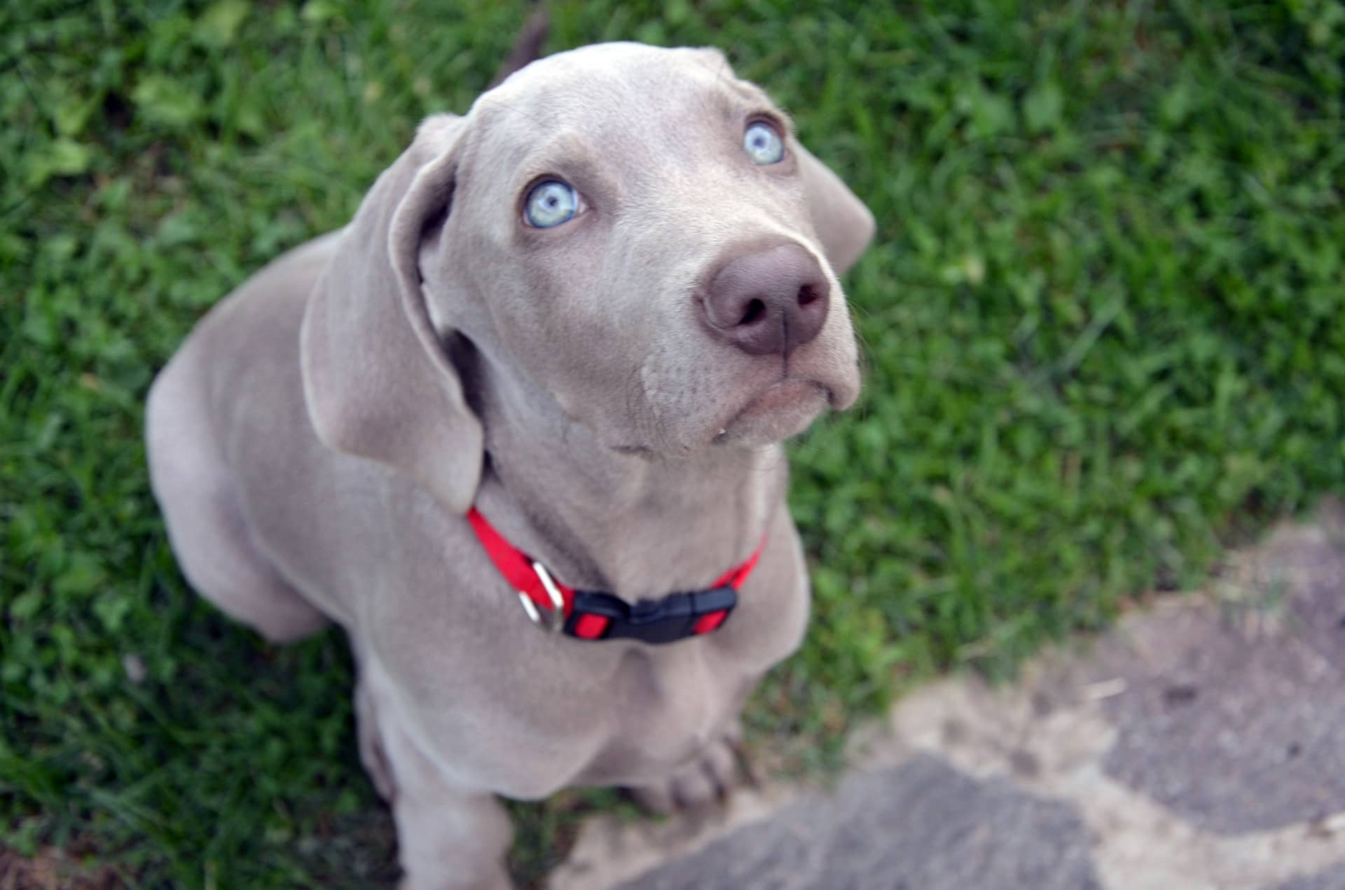 Weimaraner Puppy Training Tips For Well Behaved Puppy Weimaraners