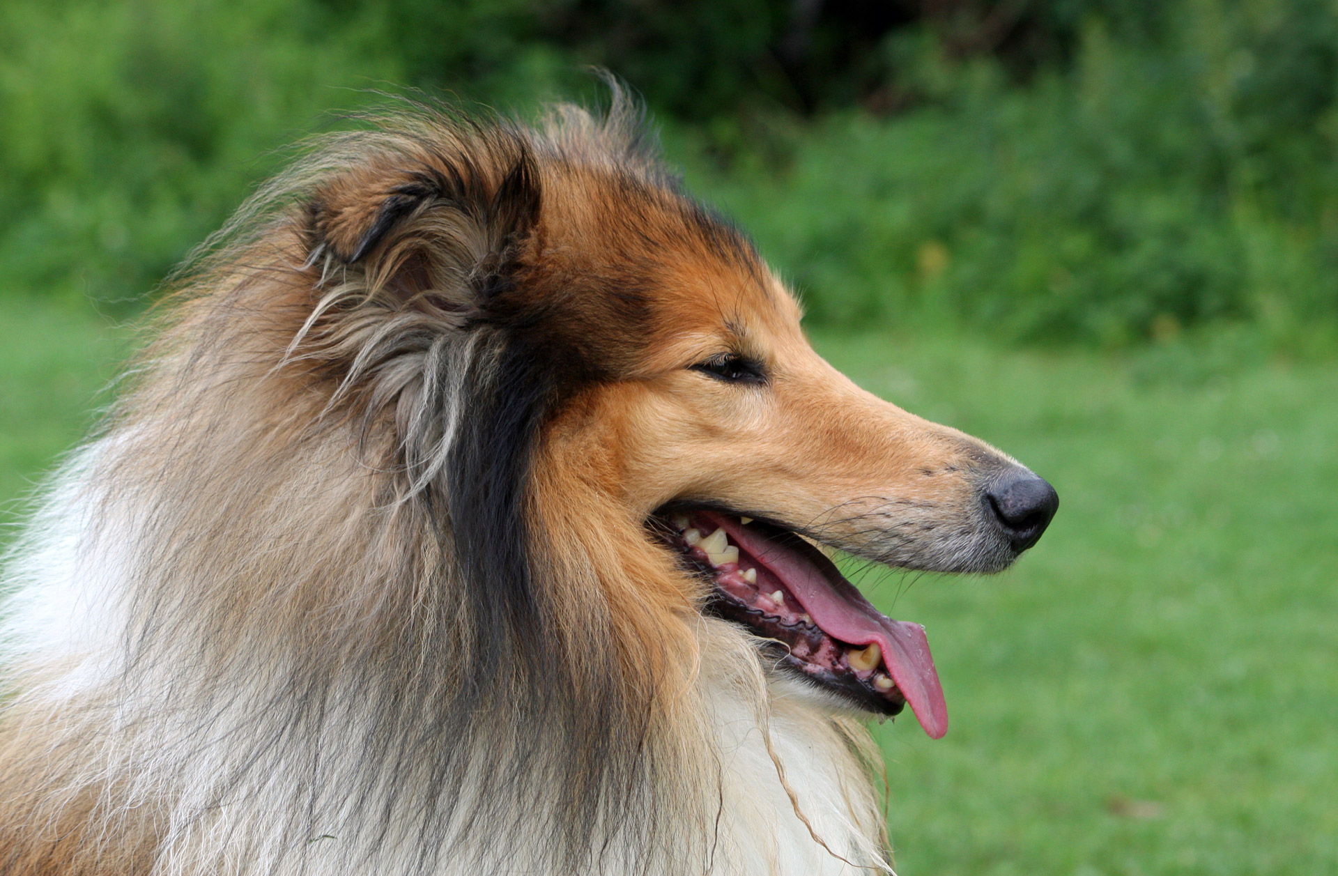 rough collie training