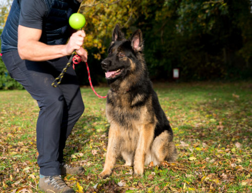 Why Are Some Dogs So Focused On Their Owners? Using Movement To Motivate